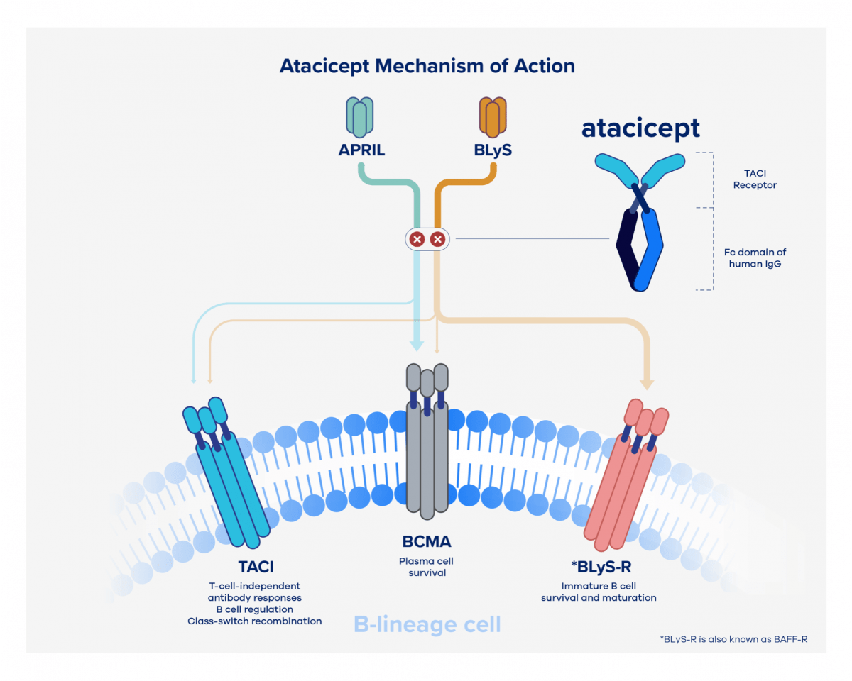 Atacicept mechanism of action